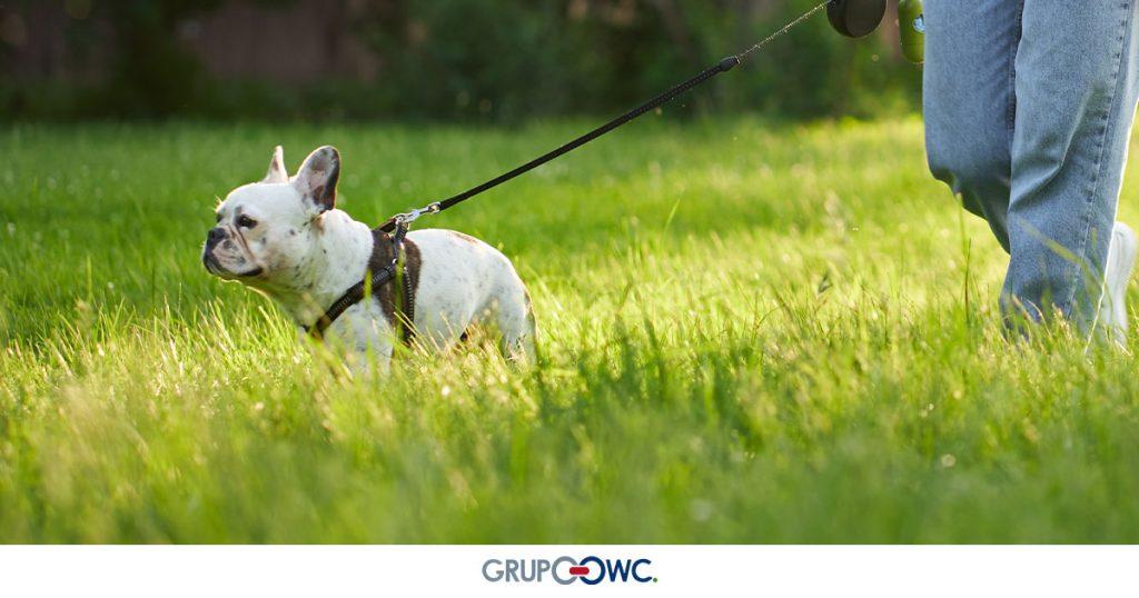 Caminar-promueve-una-vejez-más-saludable-en-perros